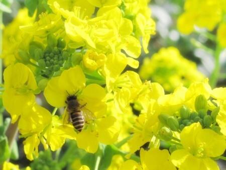 ニホンミツバチをどうやって飼い始めるの?日本ミツバチのつかまえ方