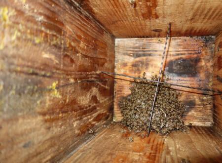 日本ミツバチの分蜂した弱小群が6ヶ月後に信じられない事に!