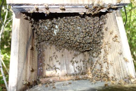 日本ミツバチのアカリンダニ対策でギ酸をやったら大失敗!ギ酸のコツ