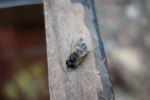 ニホンミツバチのオス蜂