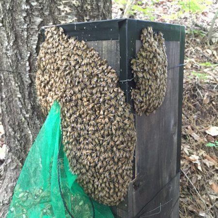 ニホンミツバチの分蜂をつかまえるキンリョウヘンを使った方法